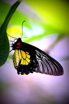 Cairns Birdwing Butterfly by Elizabeth Hart