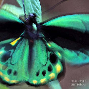Cairns Birdwing Butterfly by Glennis Siverson