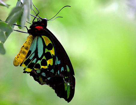 Cairns Birdwing Butterfly by Jale Fancey