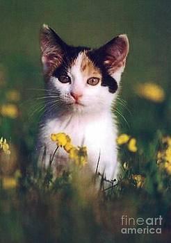 Diane Kurtz - Calico Kitten