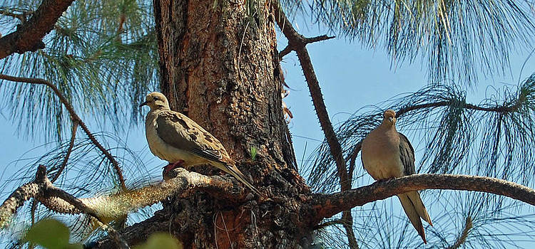California Morning Doves by Charles Frieda