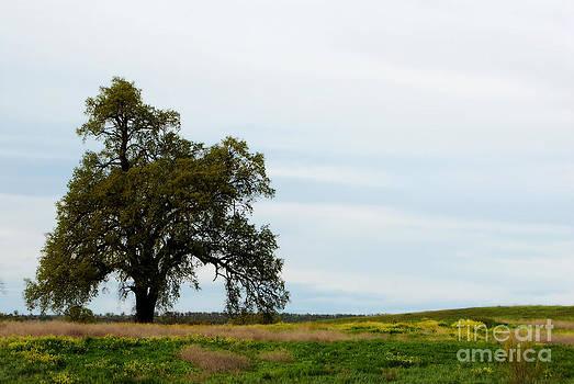 California Oak by Leaetta Mitchell