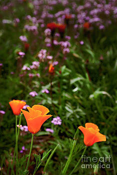 California Poppies by David Ricketts