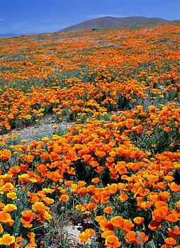 California Poppy Fields by John Wolf