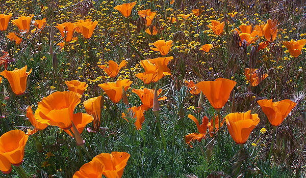 Steve Huang - California Poppy