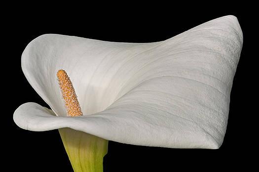 David Pringle - Calla Lily Flower