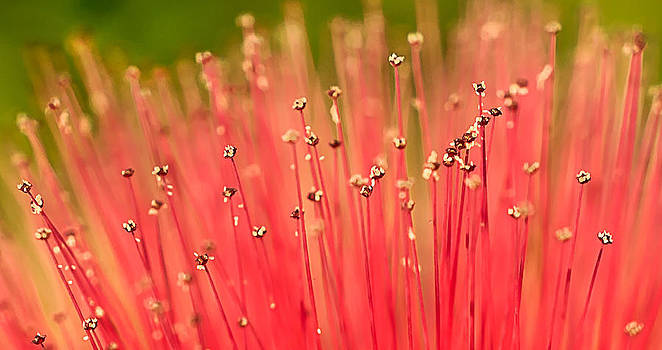 Calliandra Flower by Mariola Szeliga