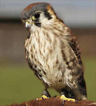 Callie American Kestrel by Barbara Middleton