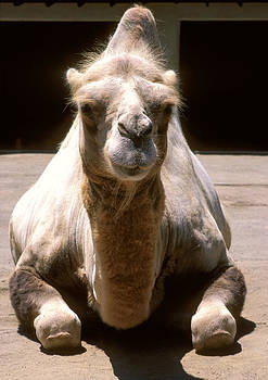 Camel by Christopher Brown