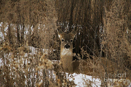 Alyce Taylor - Camouflaged Whitetail