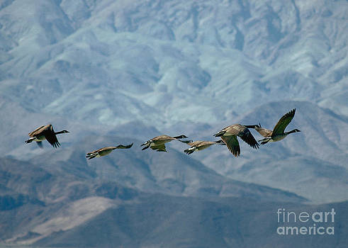 Canada Geese Death Valley by Doug Herr