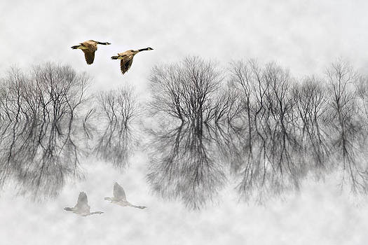 Canada Geese in Fog by Patrick Ziegler