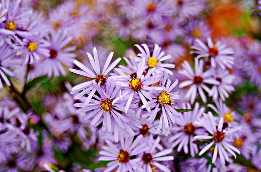 Canadian Aster by Light Shaft Images