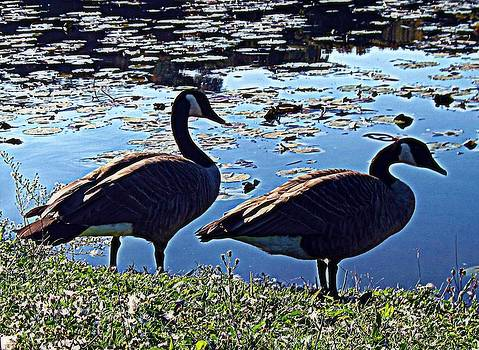 Canadian Geese by Andrea Dale