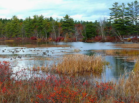 Canadian Geese on Maine Pond by Merridy Jeffery