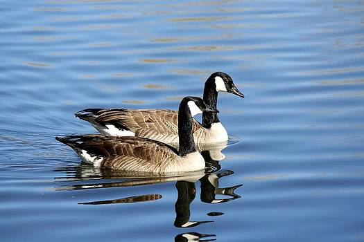 Canadian Geese on the Lake by Unknown