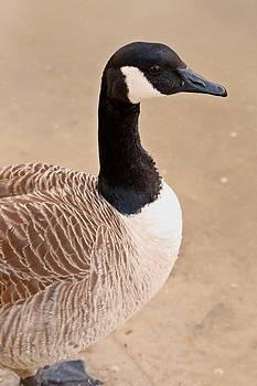 Carmen Del Valle - Canadian Goose Profile