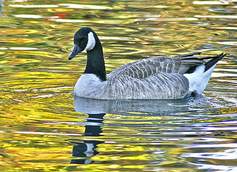Canadian Goose-The Golden Hour by Jeanne Thomas