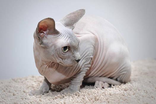 Waldek Dabrowski - Canadian sphynx cat