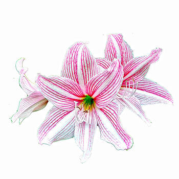 Roy Foos - Candy Striped Lily On White