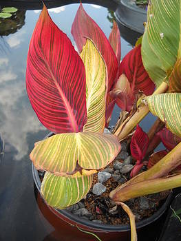 Canna Lily Fall Colors by Clifton Keller