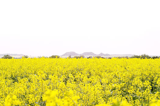 Canola Fields For Miles by Lindy Spencer