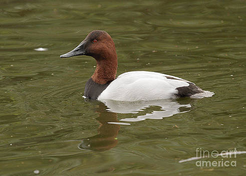 Canvasback by Doug Herr