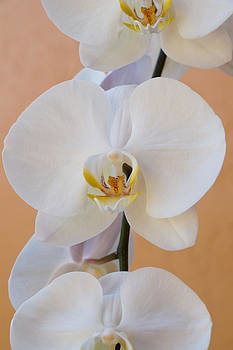 Carmen Del Valle - Captivated Orchid