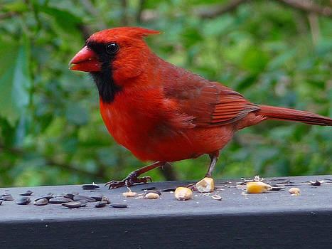 Cardinal 771b by Robert Amman