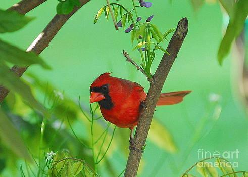 Cardinal by Curtis Brackett