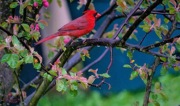 Darlene Bell - Cardinal