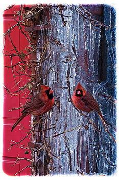 Cardinal Icicles by Chris Lord
