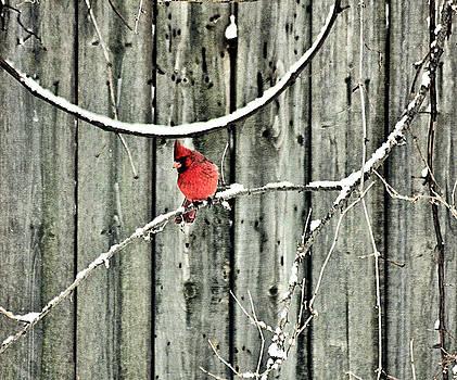 Matthew Winn - Cardinal in Winter