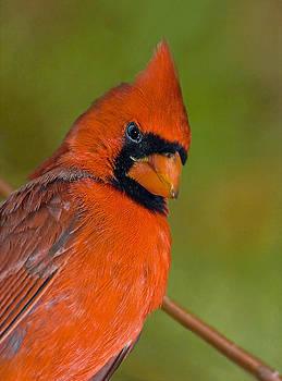 Cardinal With Attitude by Susan Leggett
