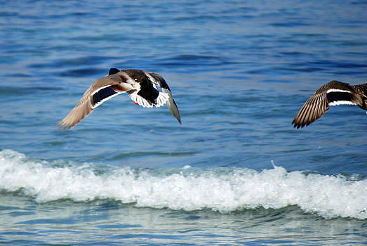 Harvey Barrison - Carmel Bay and Duck in Flight