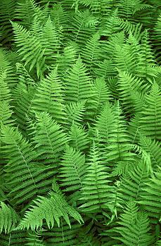 Carpet of Sword Ferns by Phil Degginger