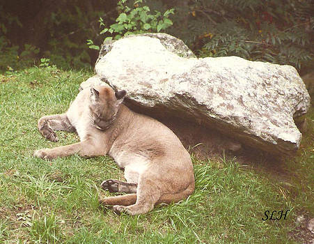 Cat at Grandfather mountain by Lee Hartsell