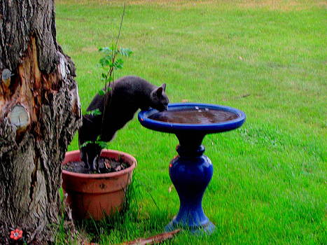Cat Drinks Bird Bath Water by Amy Bradley