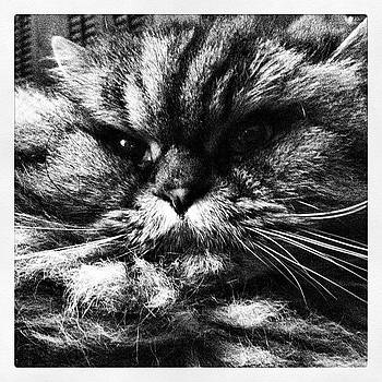#cat #himalayan #fluffy #angry #fatcat by A Loving