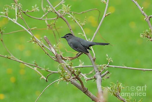 Catbird by Curtis Brackett