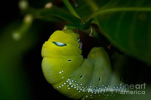Venura Herath - Caterpillar