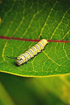 Caterpilly by Amy Schauland