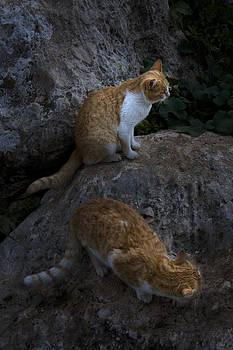 Cats by Adeeb Atwan