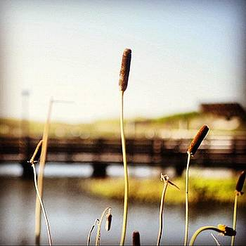 Cattails In The Wetland. #texas by Victoria Haas