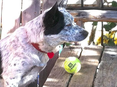 Cattle Dog with Tennis Ball by Kathryn Barry