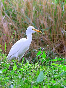 Mary Deal - Cattle Egret