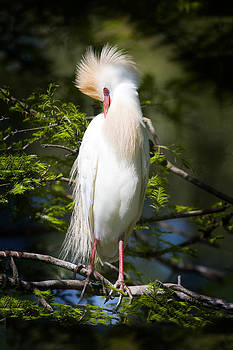 Terry Shoemaker - Cattle Egret