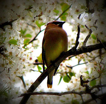 Cedar Waxwing by Mary Siniard