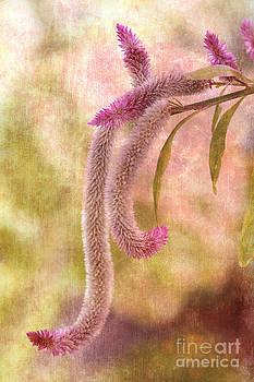 Celosia Blooms by Pamela Gail Torres