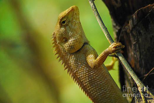 Changeable Lizard On A Tree by Saajid Abuluaih